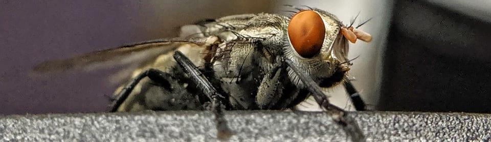 Klustervliegen bestrijden Utrecht