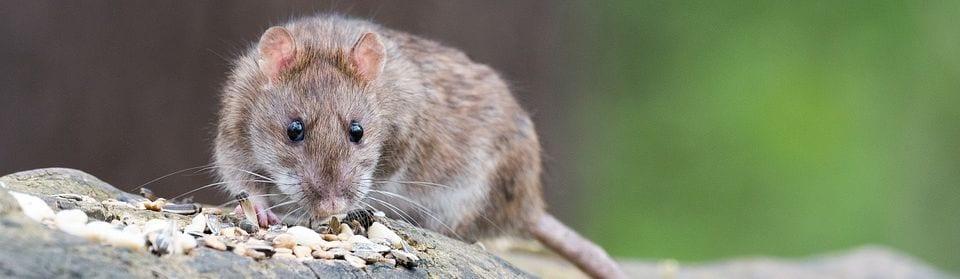 Rattenbestrijding Utrecht door All Clean